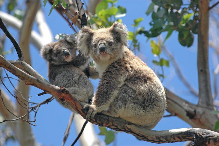 Životinje – simboli Australije