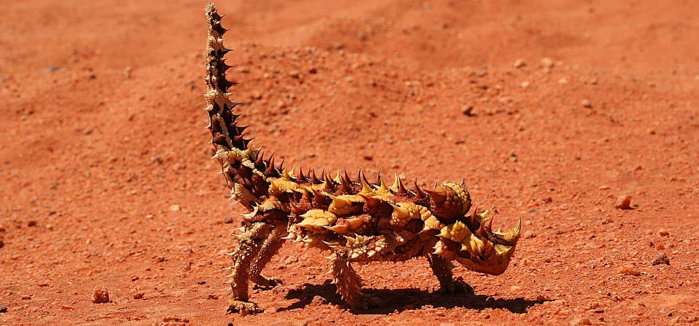 Bodljikava agama - Životinje, simboli Australije