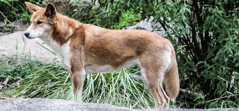 Dingo - Životinje, simboli Australije