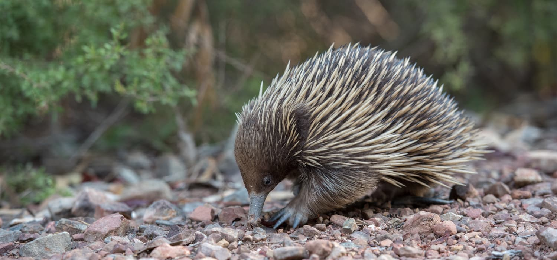 Ehidna - Životinje, simboli Australije