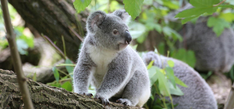 Koala - Životinje, simboli Australije