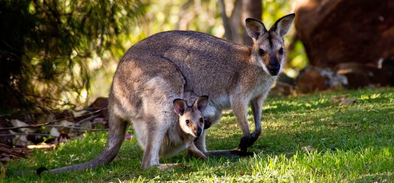Valabi - Životinje, simboli Australije