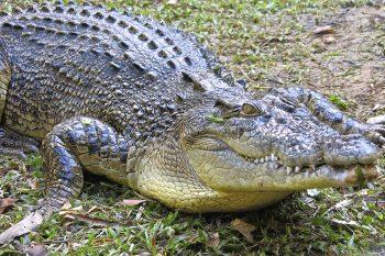 Krokodil – najopasnija i najpoznatija atrakcija Darvina