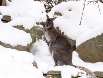 Sneg u Australiji